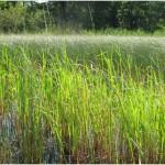 Wild Rice Test 2012